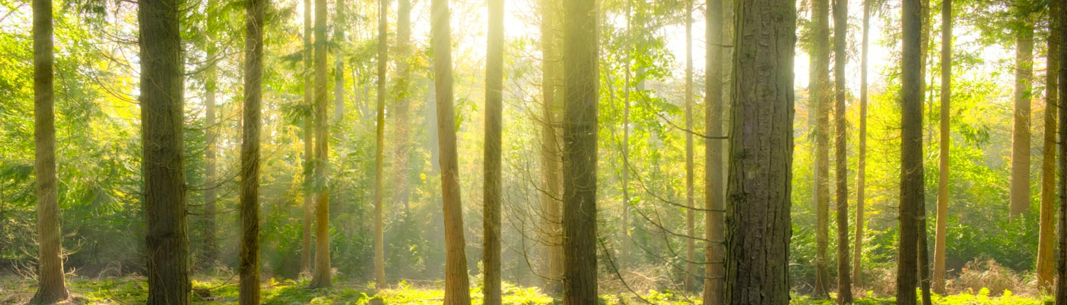 light shining through a forrest of evergreens - nature therapy